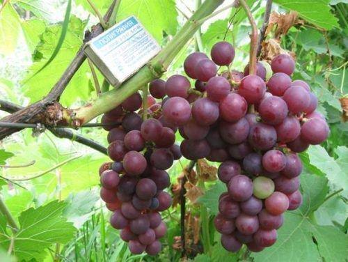 Урожай винограда Мускат Розовый