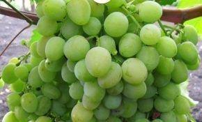 Виноградный сорт Мускат посада