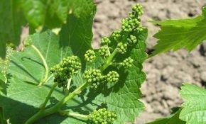 Какая подкормка необходима винограду перед цветением?