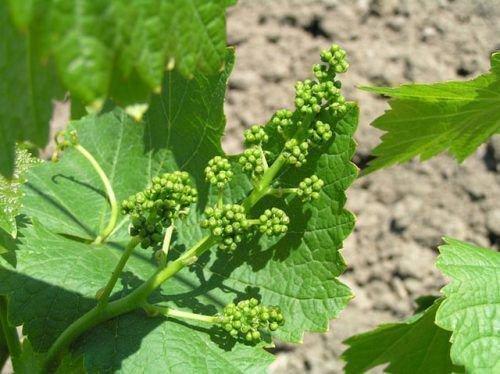Виноград перед цветением
