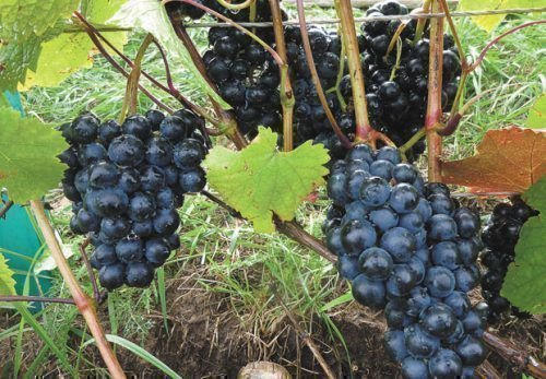 Виноград сорта Рондо