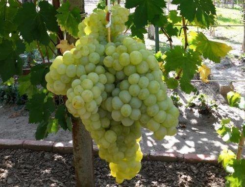 Виноград Сояки