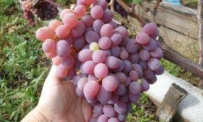 Виноград Узбекистан - сладкий дар востока