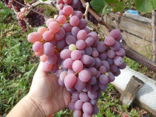 Виноград Тайфи