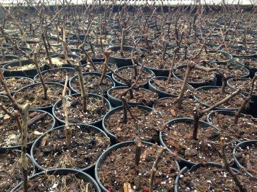 Виноград в питомнике