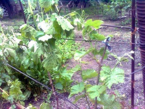Вилт винограда