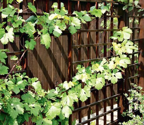 Виноград у стены