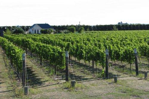 Виноградные кустарники