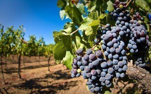 Виноградник Симоне