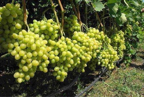 Спелые грозди белого винограда