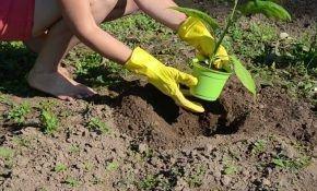Сроки высадки баклажанов в открытый грунт