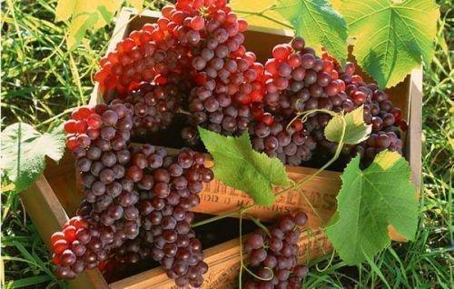 Созревшие виноградные грозди
