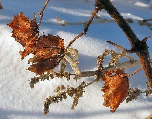Замёрзшие листья винограда
