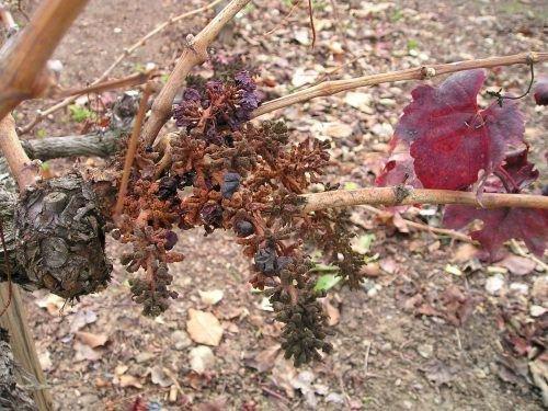 Засохший виноград