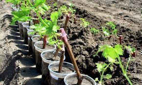 Когда приступают к посадке саженцев винограда весной