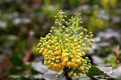 Цветок винограда