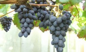 Виноград сорта Блек Гранд