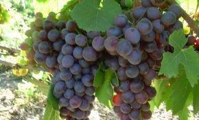 Виноград фиолетовый ранний растет даже в холодных регионах страны