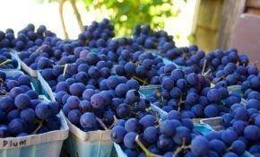 Характеристика винограда сорта Конкорд