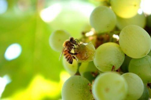 Пчела и виноград