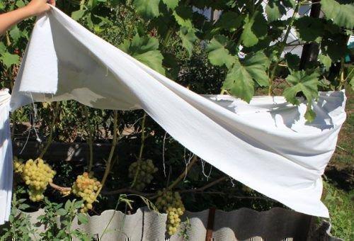 Защита винограда от солнца