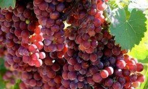 О винограде Мускат красный