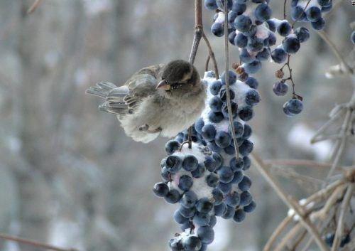 Птицы и виноград