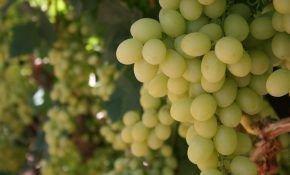 Виноград для виноделия цитронный магарача