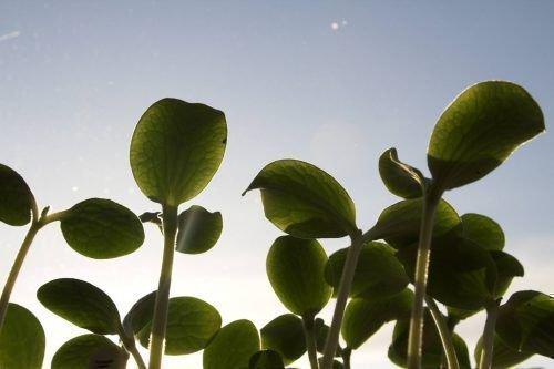 Саженцы тыквы