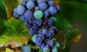 Причины, по которым сохнут ягоды винограда