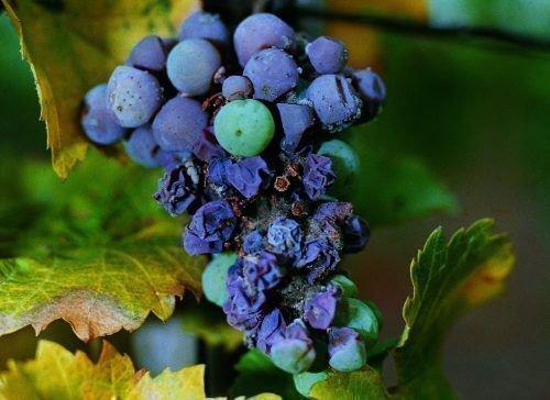 Сохнут ягоды винограда