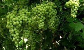 Особенности сорта винограда Благовест
