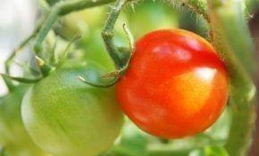Рассада томатов не растет