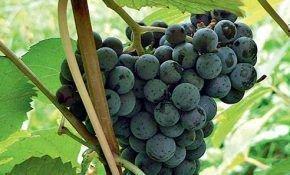 Виноград сорта Адель: описание сорта