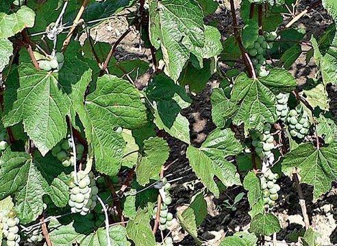 Листья и грозди Адель