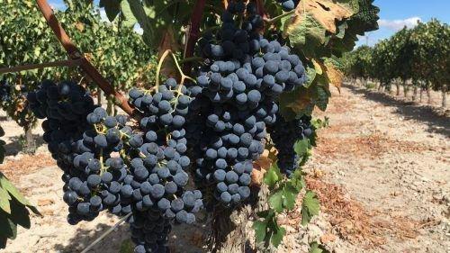 Августа на винограднике