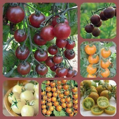 Балконные томаты