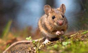 Как защитить виноград зимой: избавляемся от мышей