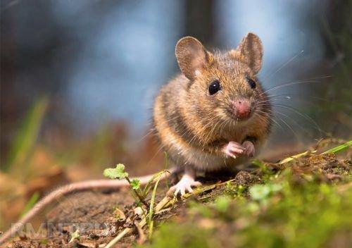 Бедная мышка