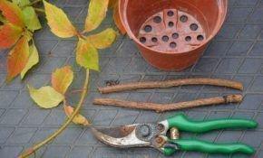 Описание девичьего винограда: размножение черенками осенью
