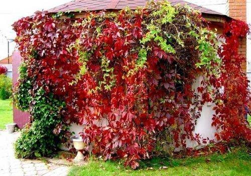 Девичий виноград на терассе