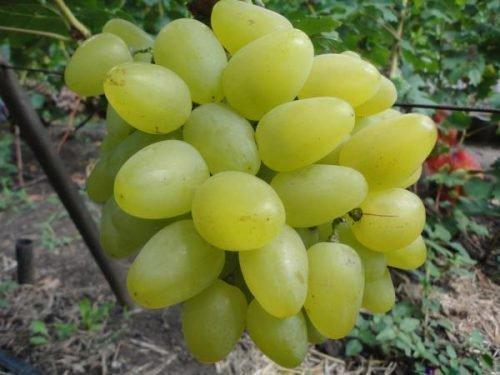 Гарольд виноград