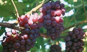 Характеристика винограда русский Конкорд