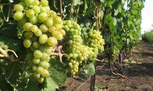 Элегант в винограднике