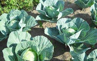Характеристика семян капусты лучших сортов для открытого грунта