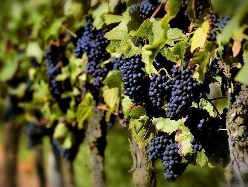 Виноградный куст