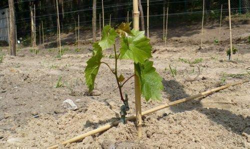 Кустик винограда Элегант