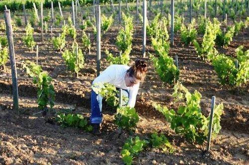 Молодой виноград