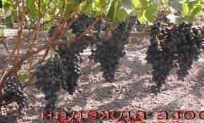 О винограде Надежда АЗОС