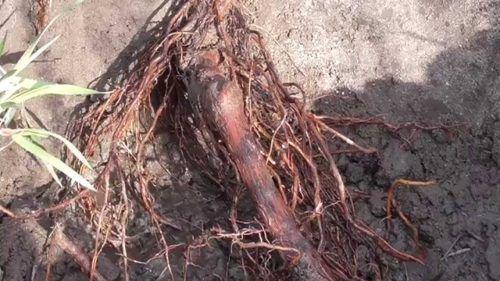 Оголенные корни